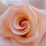 rose-644561_640